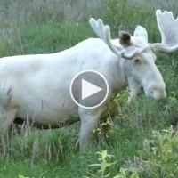 Rare White Moose Spotted in Sweden And We Have The Video