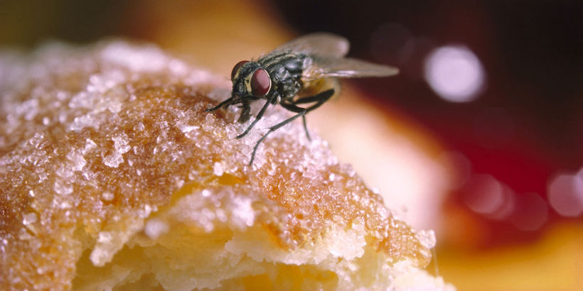 Fly Lands on Your Food