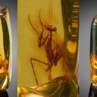 A 12 Million Year Old Praying Mantis Encased in Amber