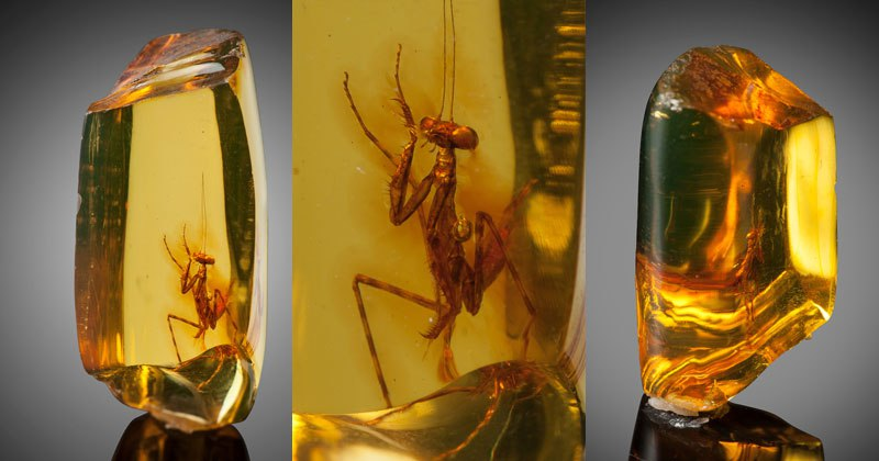 12 Million Year Old Praying Mantis Encased in Amber