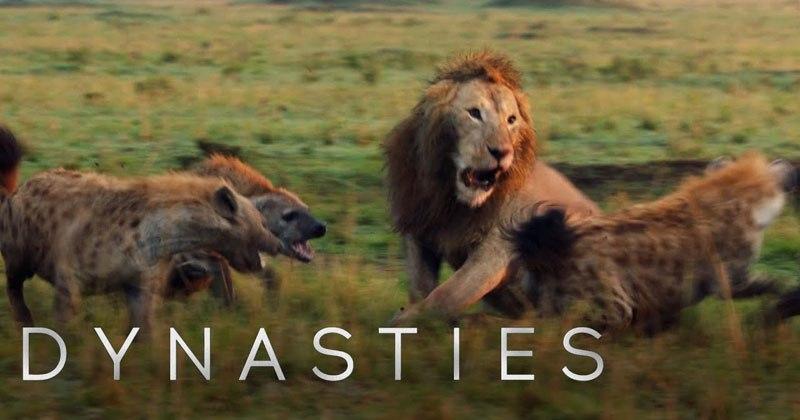 Lion Fights 20 Hyenas