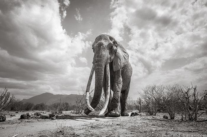 Elephant Queen