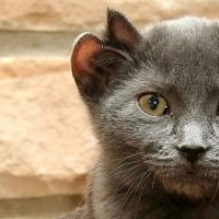 A Cat Born With Four Ears, And They Named Him Yoda