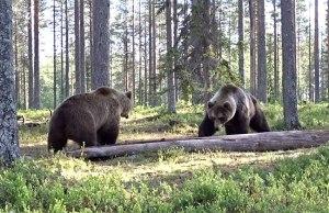 Wild Bear Fight