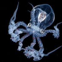 Blackwater Photographer Captures A Octopus With A Transparent Head