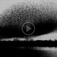 Check Out a Million Birds Fly in Unison