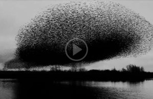 Million Birds Fly in Unison