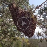 Professional Bee Remover Shakes Giant Swarm of Bees
