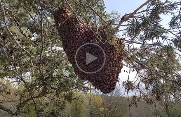 Giant Swarm of Bees