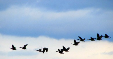 migrating home