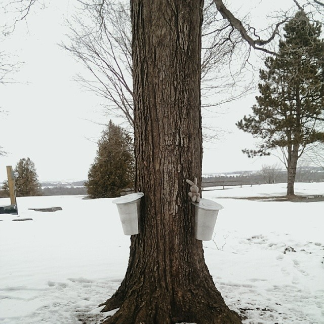 How to Tap A Maple Tree to Make Maple Syrup
