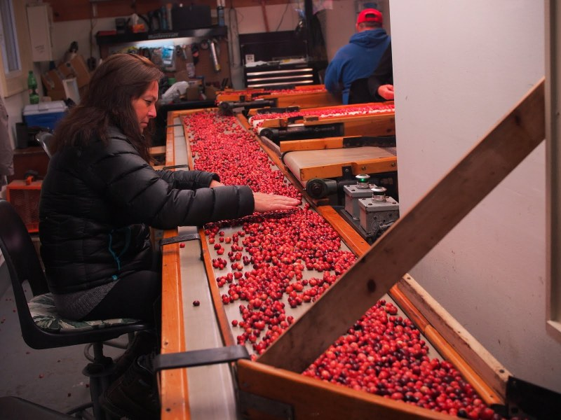 quality control on cranberries