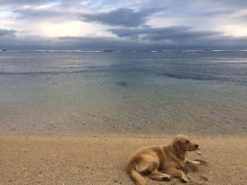 Toby, resort's golden retriever