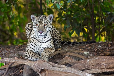 A Female Jaguar (Panthera onca)