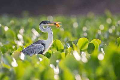 A Cocoi heron (Ardea cocoi) with a fish amonsth floating water hyacinths, photographed on an Untamed Jaguars of Pantanal Wildlife Photography Expedition
