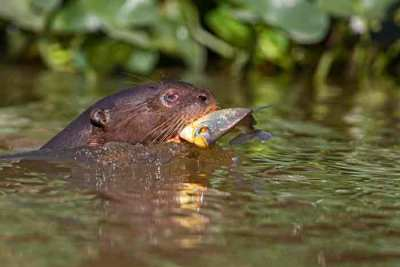 A giant river otter (Pteronura brasiliensis) swimming in a river with a piranha in its jaws, photographed on an Untamed Jaguars of Pantanal Wildlife Photography Expedition