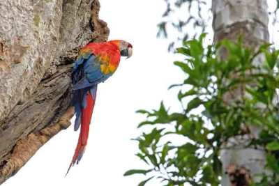 A scarlet macaw (Ara macao) at a nest site in the Amazon, photographed on an Untamed Peruvian Amazon Wildlife Photography Expedition