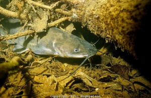 Channel Catfish under a submerged log.