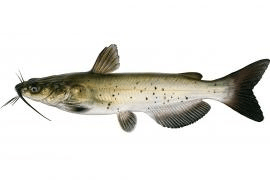 The Channel Catfish is the state fish of Missouri and Kansas.