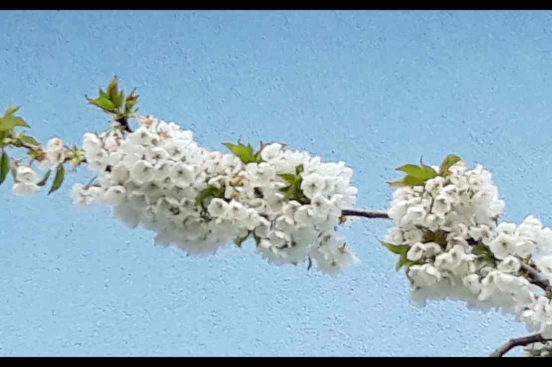 Keine Fotos von der Kirschblüte im Eggenertal