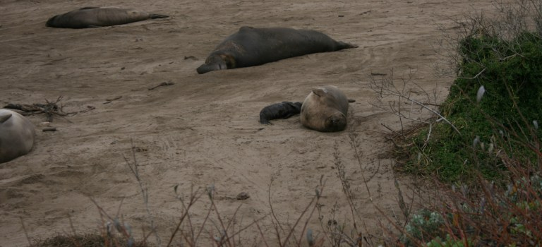 Hanging out with elephant seals