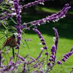 Monarch butterfly at Ardenwood Historic Farm, Fremont