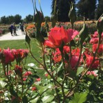 Roses at the Municipal Rose Garden in San Jose