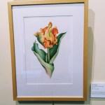 Parrot tulip, botanical art by Lois Perlman, Filoli in Woodside