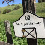 Farm trivia - Why do pigs like mud?