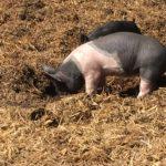 Piglets at Deer Hollow Farm, Cupertino