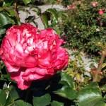 Rose at the Catherine Brennan Memorial Rose Garden, Redwood City