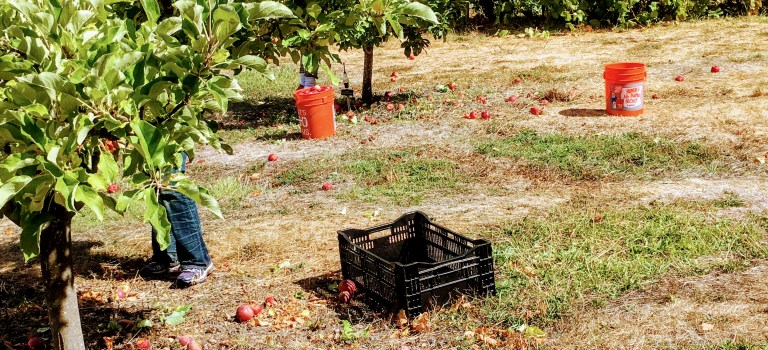Picking apples at the Gentlemen's Orchard in Filoli in Woodside