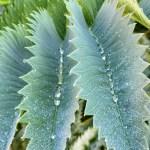 Water drops on plant at Gamble Garden, Palo Alto.