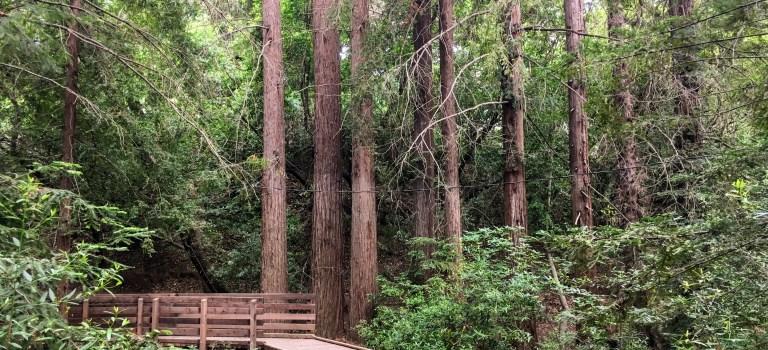 Redwood grove in Los Altos