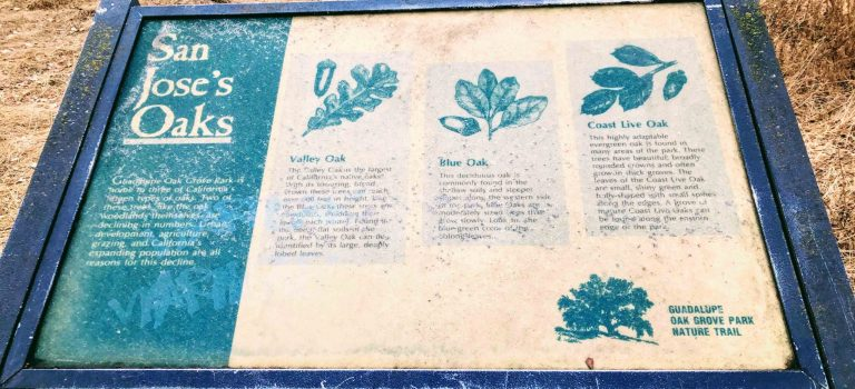 Educational sign about the three different oak trees in San Jose