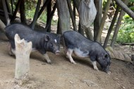 Hatibandha Village Pigs