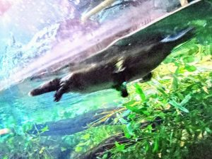 Platypus swimming in aquarium in Sydney