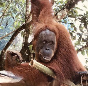 Orang-Utan bei der Entdeckungsreise von Sumatra auf eigene Faust
