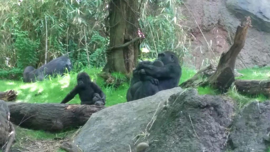 bronx-zoo-gorilla