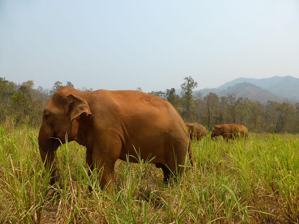 Elefanti Thailandia