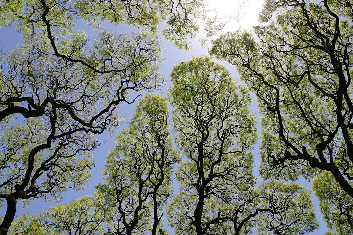 Crown Shyness: When Trees Actually Avoid Touching Each Other