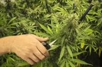 Invest in Marijuana