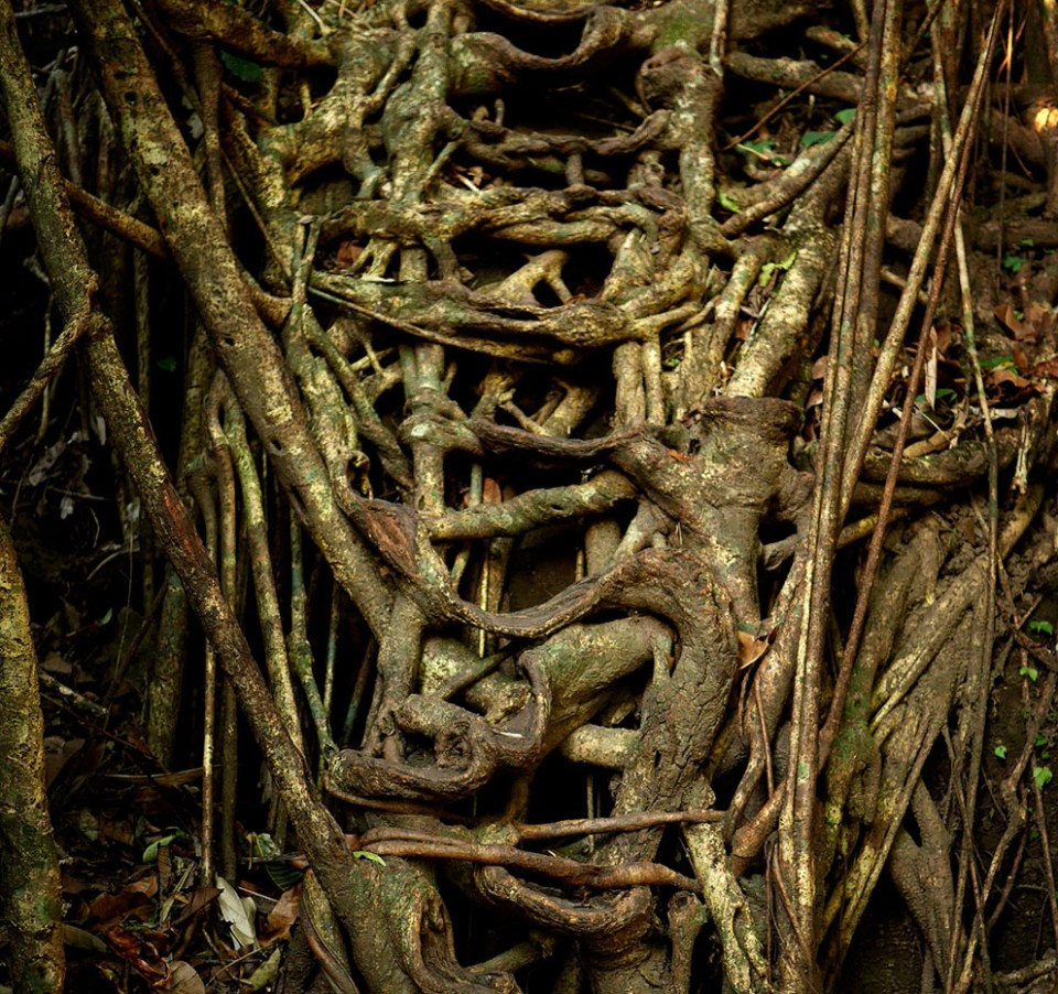 "As well as the bridges, the jungles beneath Mawsynram hide ""living ladders"" curled into shape to assist villagers descending the steep flanks of the Khasi hills. (© Amos Chapple)"