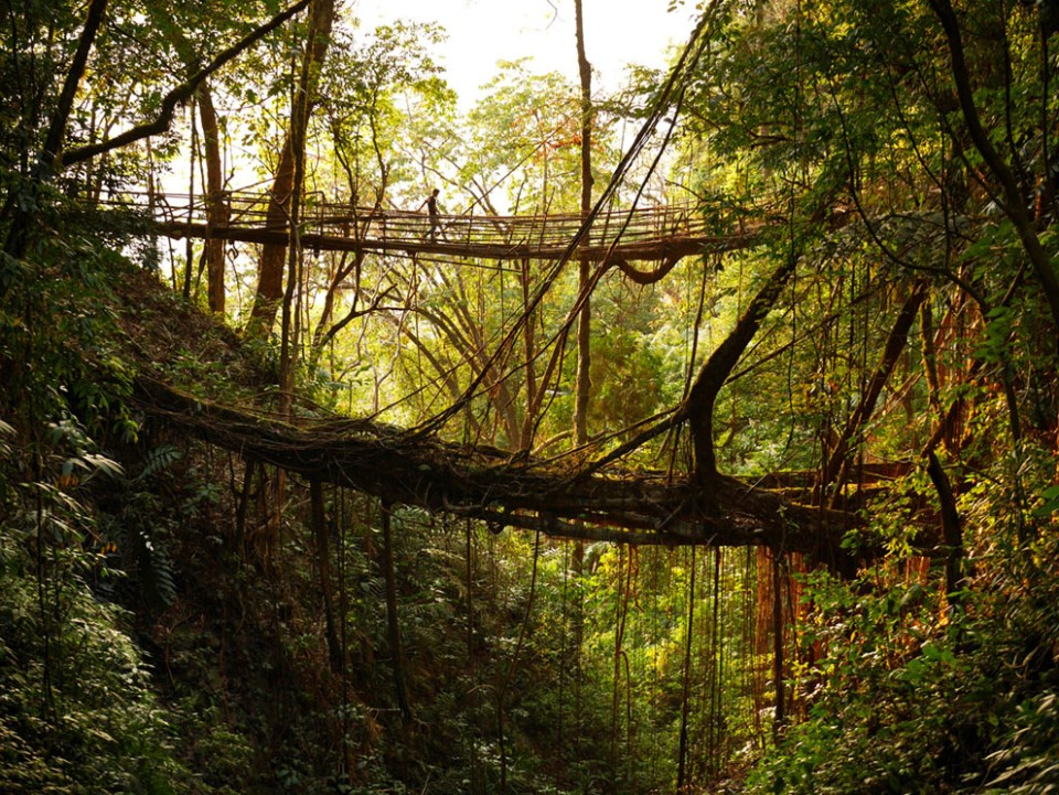 A local guide demonstrates a tree root bridge being developed to replace an older, circuitous route across a gorge deep in the jungle near Mawsynram. (© Amos Chapple)