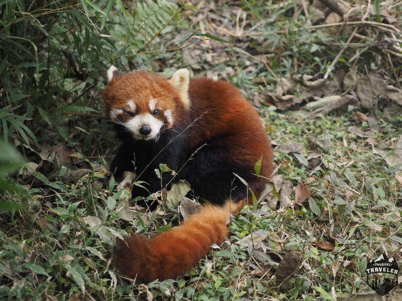 Chengdu Home Of The Giant Panda