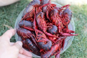 Beaucoup Crawfish - Crawdads from the crick
