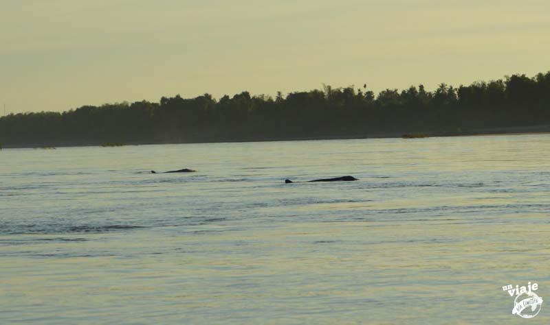 Manada de delfines de Irrawaddy.