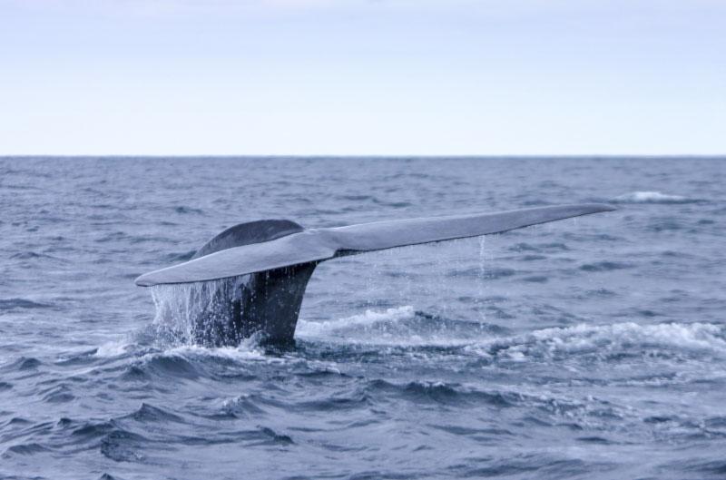 Ver ballenas en las Islas Azores: Cuándo, Cómo y Dónde.