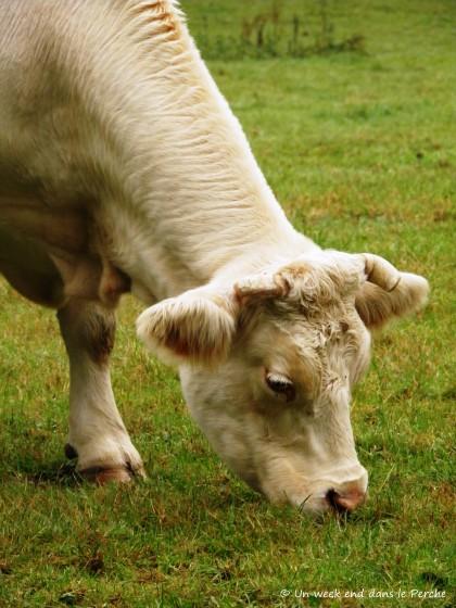 Vaches dans le Perche
