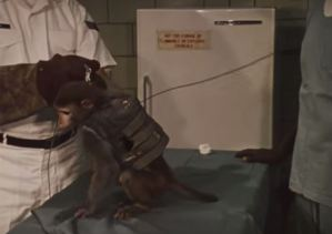 A leashed monkey wears a remote control vest and backpack.